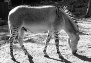 Zedonk: hybrid of a zebra and a donkey.